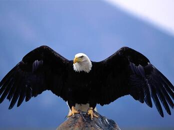 Confident-Eagle-Wingspan
